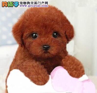 热销进口韩系大庆泰迪犬 血统纯身体好可签订协议