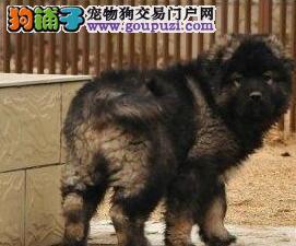 长春正规基地出售高品质高加索犬带血统证书