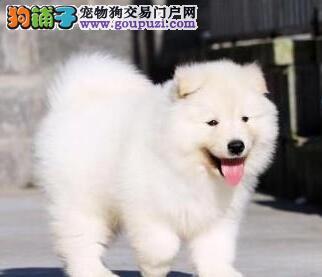 北京自家繁殖的纯种萨摩耶找主人质保协议疫苗驱虫齐全