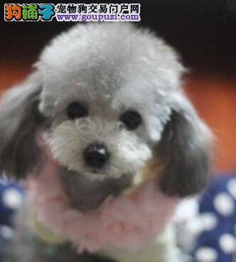 武汉出售贵宾犬幼犬品质好有保障CKU认证品质绝对保障