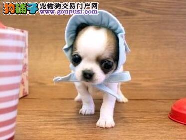 直销出售顶级品质苹果头吉娃娃 上海实体犬舍热销中