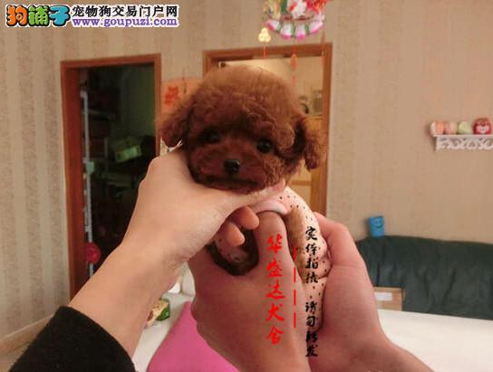 茶杯犬正规犬舍繁殖诚信交易、精品茶杯犬、可签协议