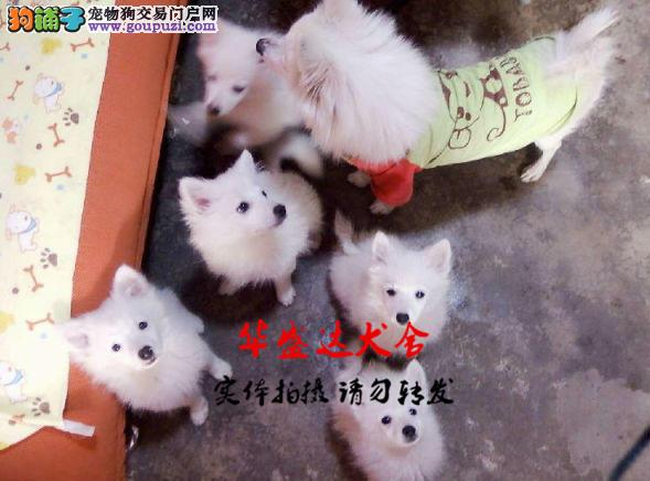 银狐犬正规犬舍繁殖、诚信交易、纯种银狐、可签协议