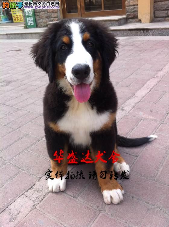 伯恩山正规犬舍繁殖、诚信交易、纯种犬、可签协议