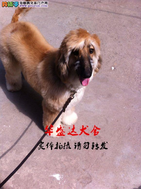 阿富汗犬、正规犬舍繁殖、诚信交易、纯种犬、可签协议