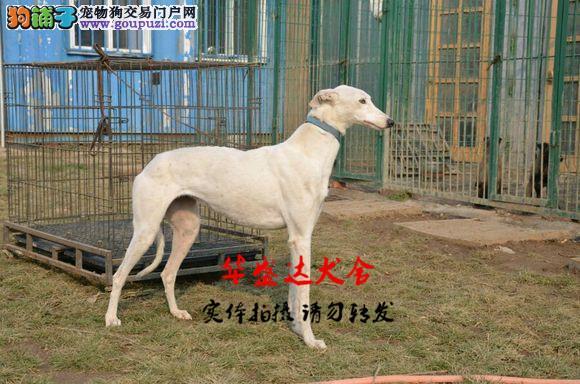 格力犬正规犬舍繁殖、诚信交易、格力犬、可签协议