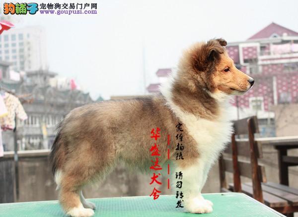 北京最正规喜乐蒂犬基地 完美售后 质量三包可送货上门