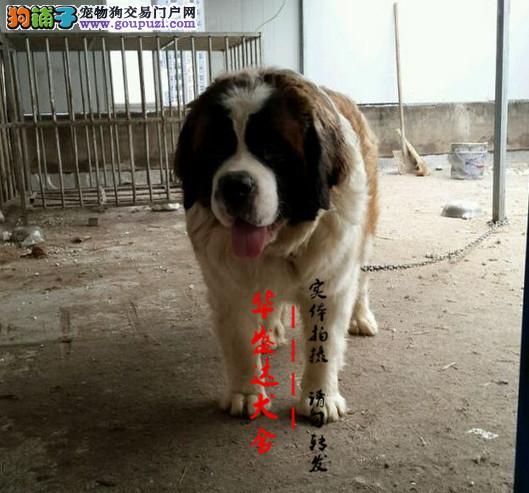 北京最大圣伯纳犬基地 完美售后 质量三包可送货上门