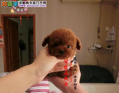 北京最正规的茶杯犬基地 完美售后 质量三包可送货上门