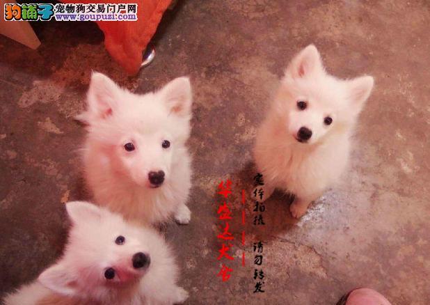 北京最正规银狐犬基地 完美售后 质量三包 可送货上门