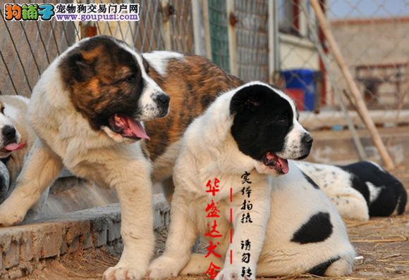 北京正规犬舍繁殖中亚牧羊犬完美售后 质量三包