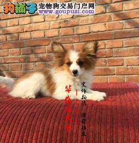 北京最正规蝴蝶犬基地 完美售后 质量三包 可送货上门
