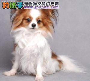 福州什么地方有蝴蝶犬卖 福州蝴蝶犬多少钱一只 包建康