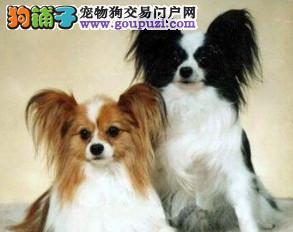 出售纯正蝴蝶犬幼犬黄白花黑白花都有