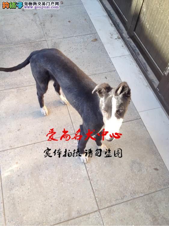 武汉最大的格力犬基地 完美售后 质量三包 可送货上门