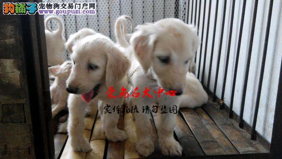 重庆最大的阿富汗犬舍 完美售后 质量三包 可送货上门