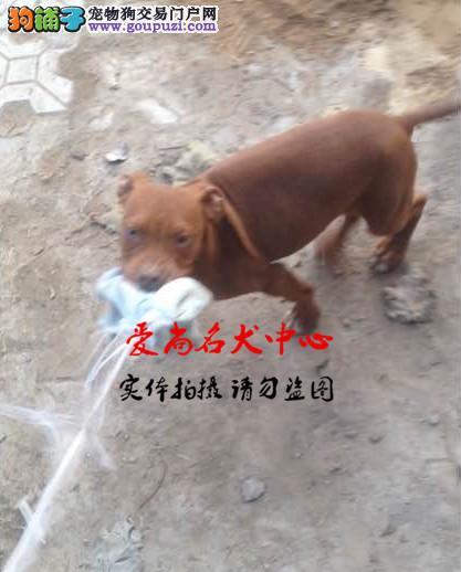 北京最大的比特犬基地 完美售后 质量三包 可送货上门