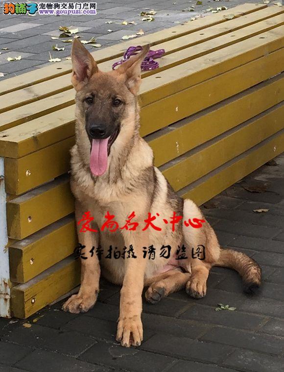 最大的昆明犬基地 完美售后 质量三包 可送货上门