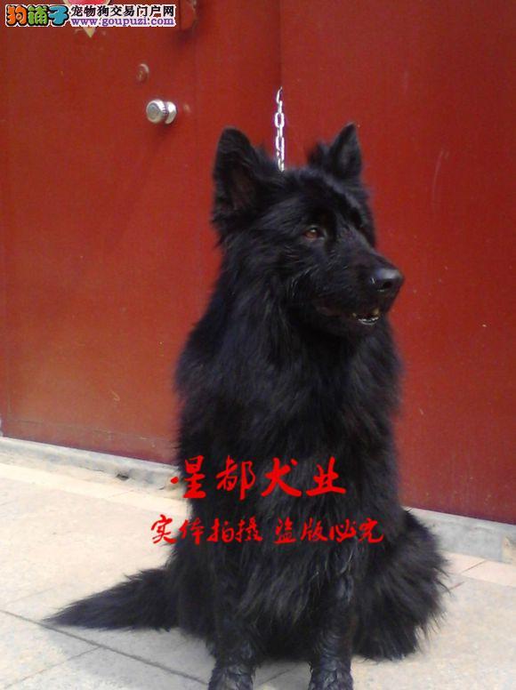 正规犬舍繁殖、诚信交易、纯种比利时犬、可签协议
