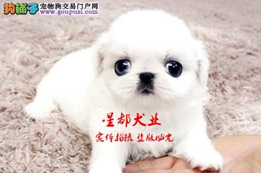 正规犬舍繁殖、诚信交易、纯种京巴犬、可签协议