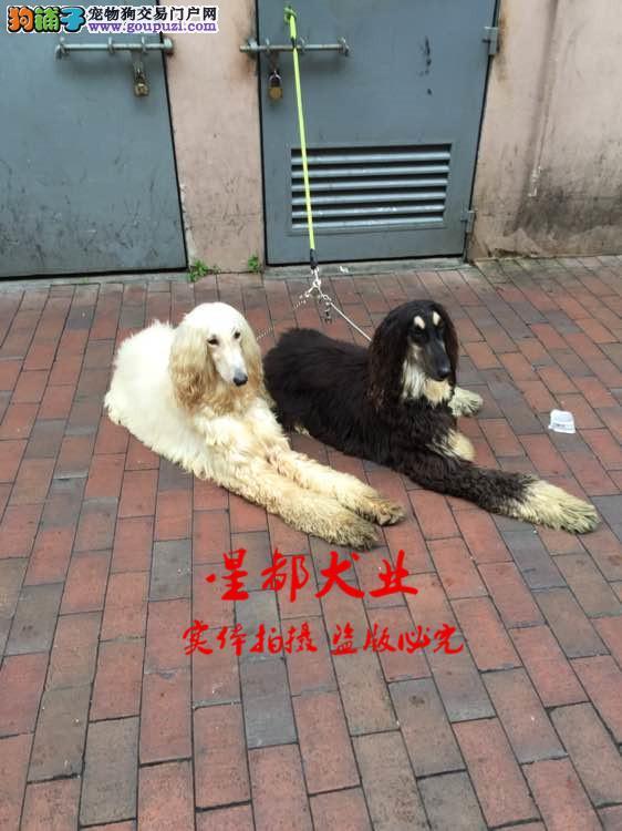 正规犬舍繁殖、诚信交易、纯种阿富汗犬、可签协议