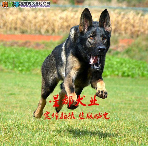 正规犬舍繁殖、诚信交易、纯种昆明犬、可签协议