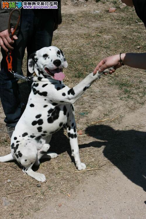 专业繁殖纯种斑点狗疫苗齐全购犬可签协议