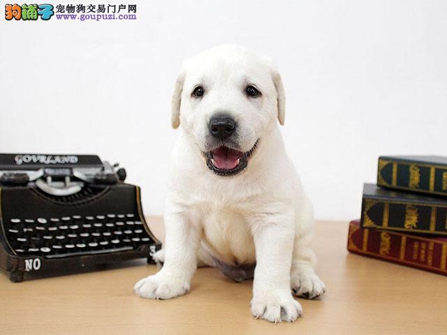 纯种拉登血系兰州拉布拉多犬低价出售 有问题可退换