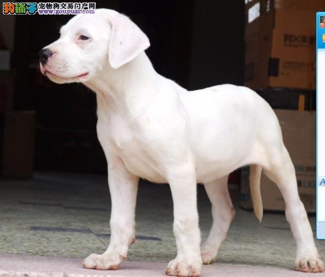 正规犬舍高品质杜高犬带证书签订终身协议