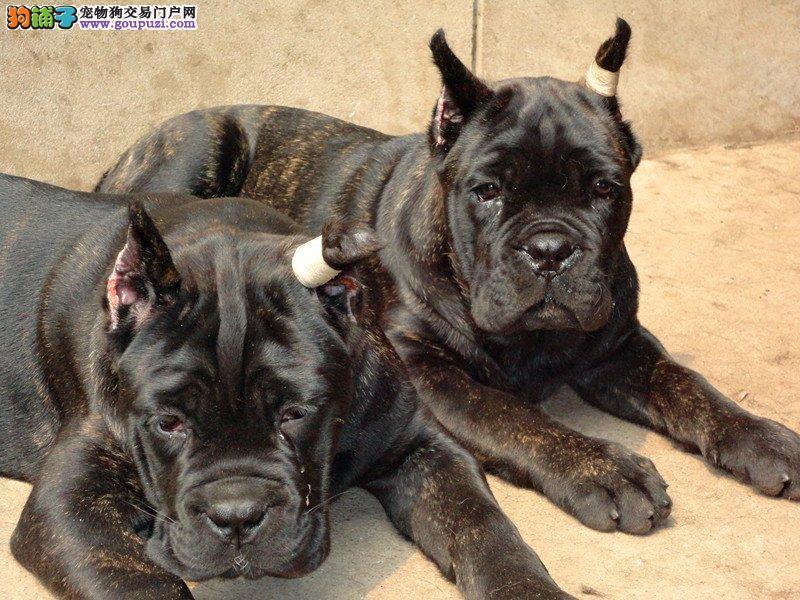 西安精品高品质卡斯罗犬宝宝热销中CKU认证绝对信誉保障