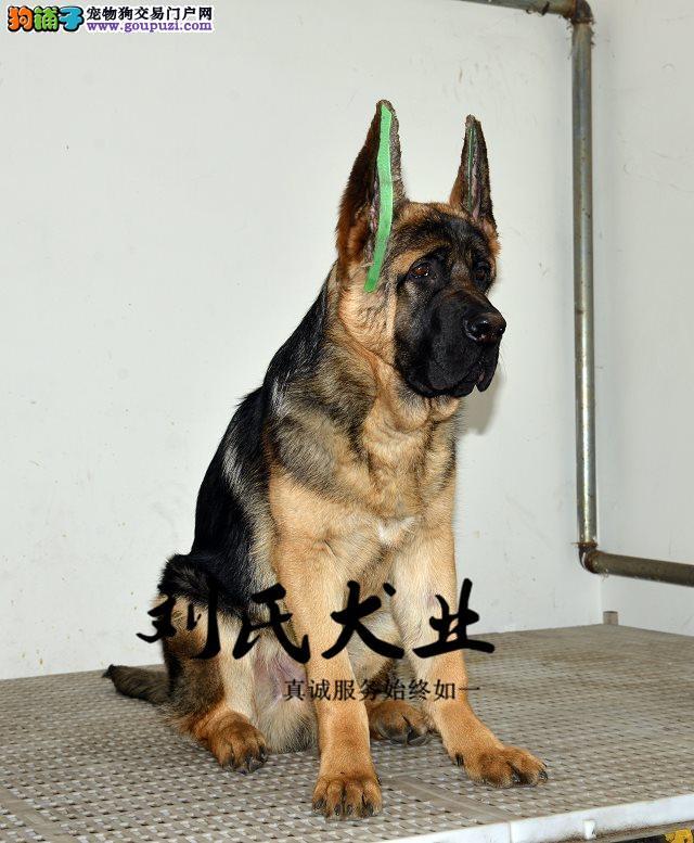 狗场常年繁殖纯种昆明犬、头版好、包纯种、包品相