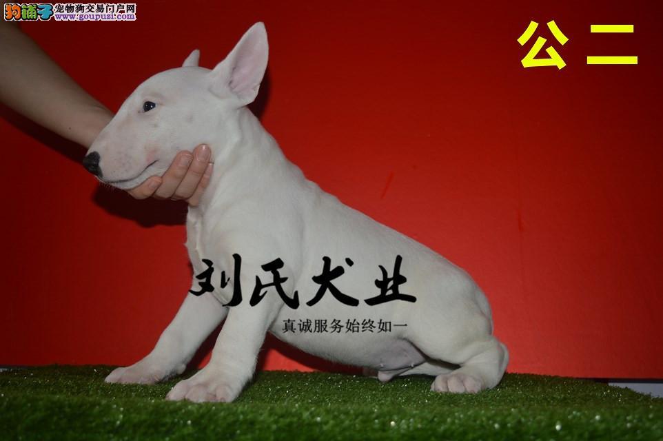 纯种健康牛头梗犬出售了 疫苗驱虫已做带证书 三年质保