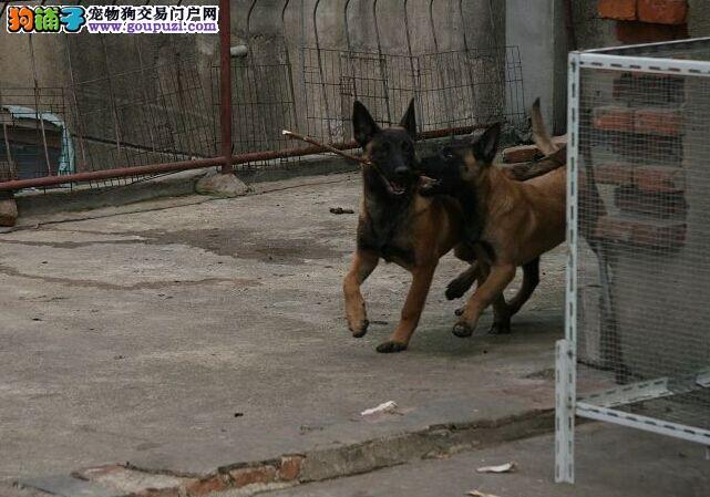 出售真正的护卫犬-比利时马犬出售[两个月公母全有]