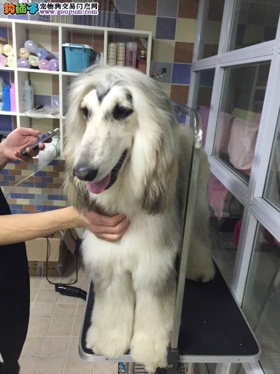 阿富汗猎犬找新家,三针齐全保健康,当天付款包邮