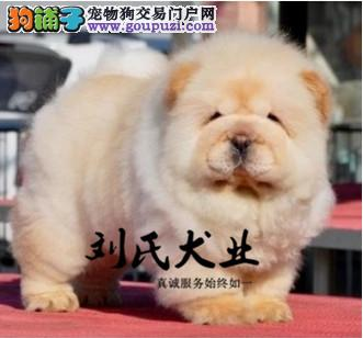 纯种肉嘴松狮幼犬 专业繁殖 包纯种签合同保健康
