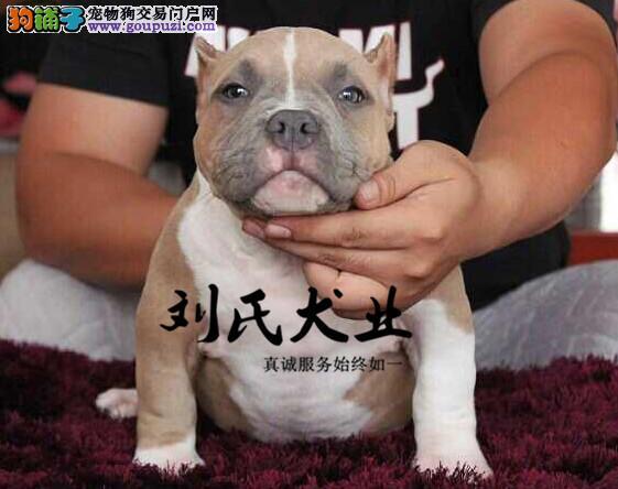犬舍直销 多种血系比特斗犬 健康纯种保障 签协议