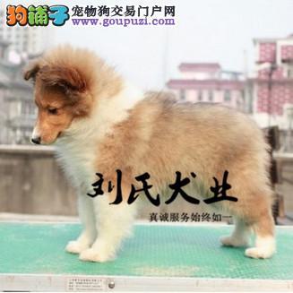 出售极品喜乐蒂幼犬 CKU认证犬舍 特价销售