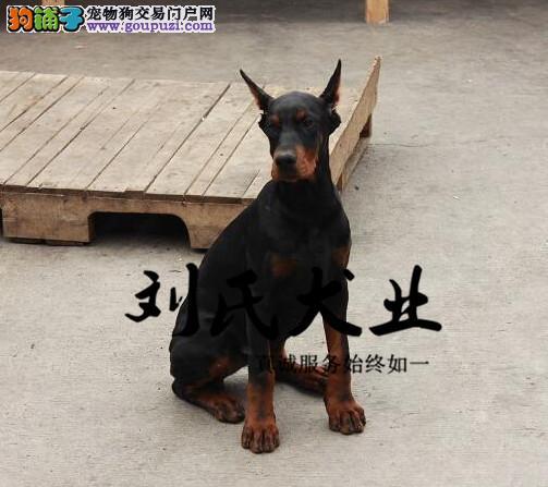 纯种杜宾 犬舍繁殖 北京杜宾繁殖基地 疫苗齐全