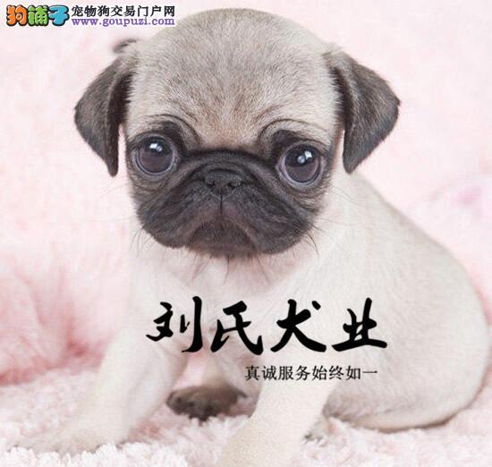 小巧可爱 聪明活泼的纯种巴哥犬 健康保障 买的放心