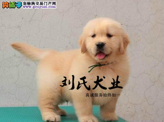 专业基地繁殖纯种 双血统大头金毛幼犬
