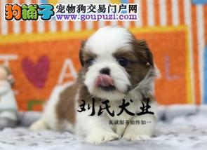 品质有保障 信誉售后服务 犬舍直销纯种西施幼犬