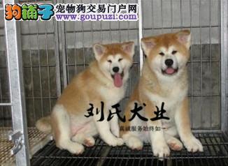 顶尖纯种秋田犬高品质幼犬可以签合同