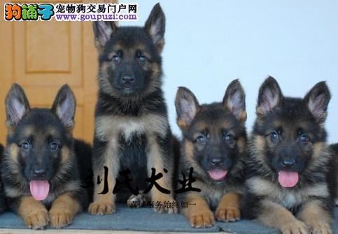 北京人繁殖纯种狼狗 保纯保健康贴心售后