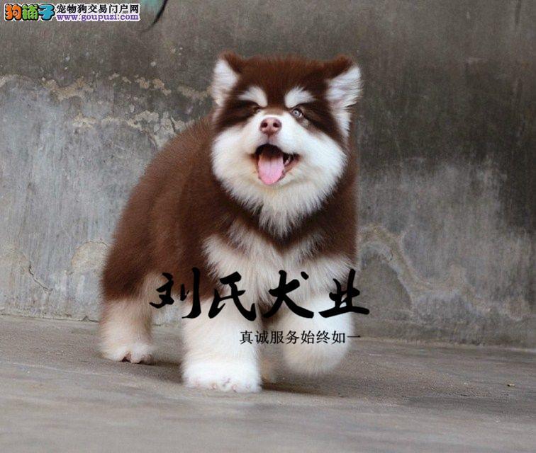 熊版阿拉斯加 巨型阿拉 北京阿拉斯加犬舍 完美售后