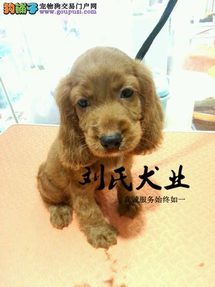 出售活泼可爱纯种宠物狗狗犬/漂亮大耳朵美国.