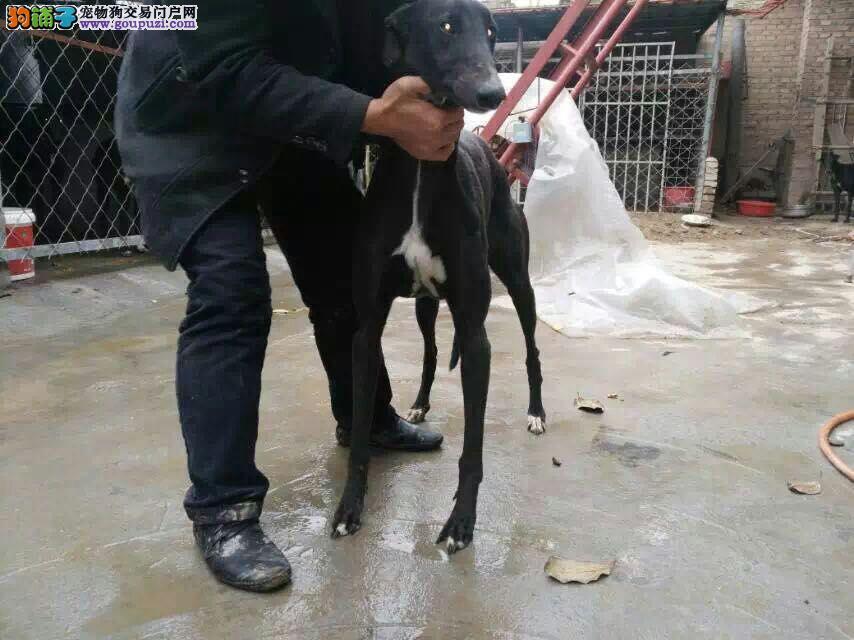 热销格力犬幼犬 专业繁殖包质量 签订正规合同