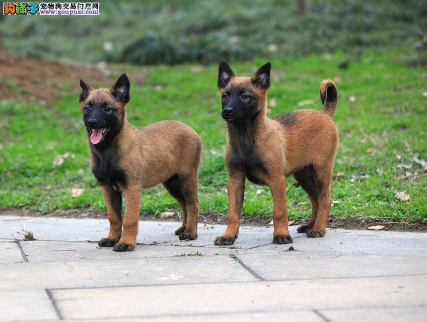 犬舍直销品种纯正健康马犬保障品质一流专业售后