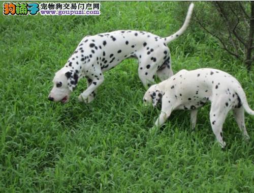 出售斑点狗健康养殖疫苗齐全三针疫苗齐全