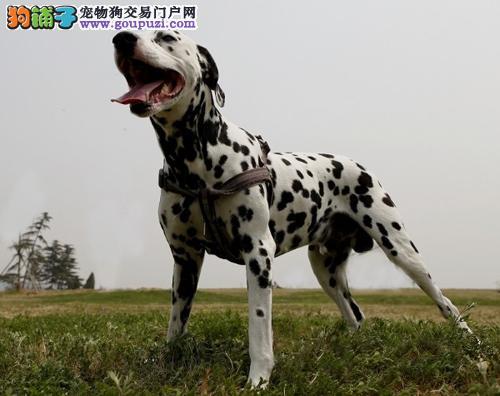 专业繁殖纯种济南斑点狗疫苗齐全微信咨询视频看狗