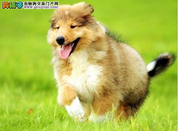 长春地区出售国外血统高品质英系苏牧幼犬